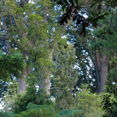 NSR Coromandel Kauri Grove