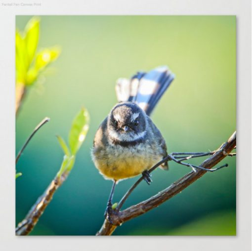 Nature Me Now - Fantail S6 Print Canvas